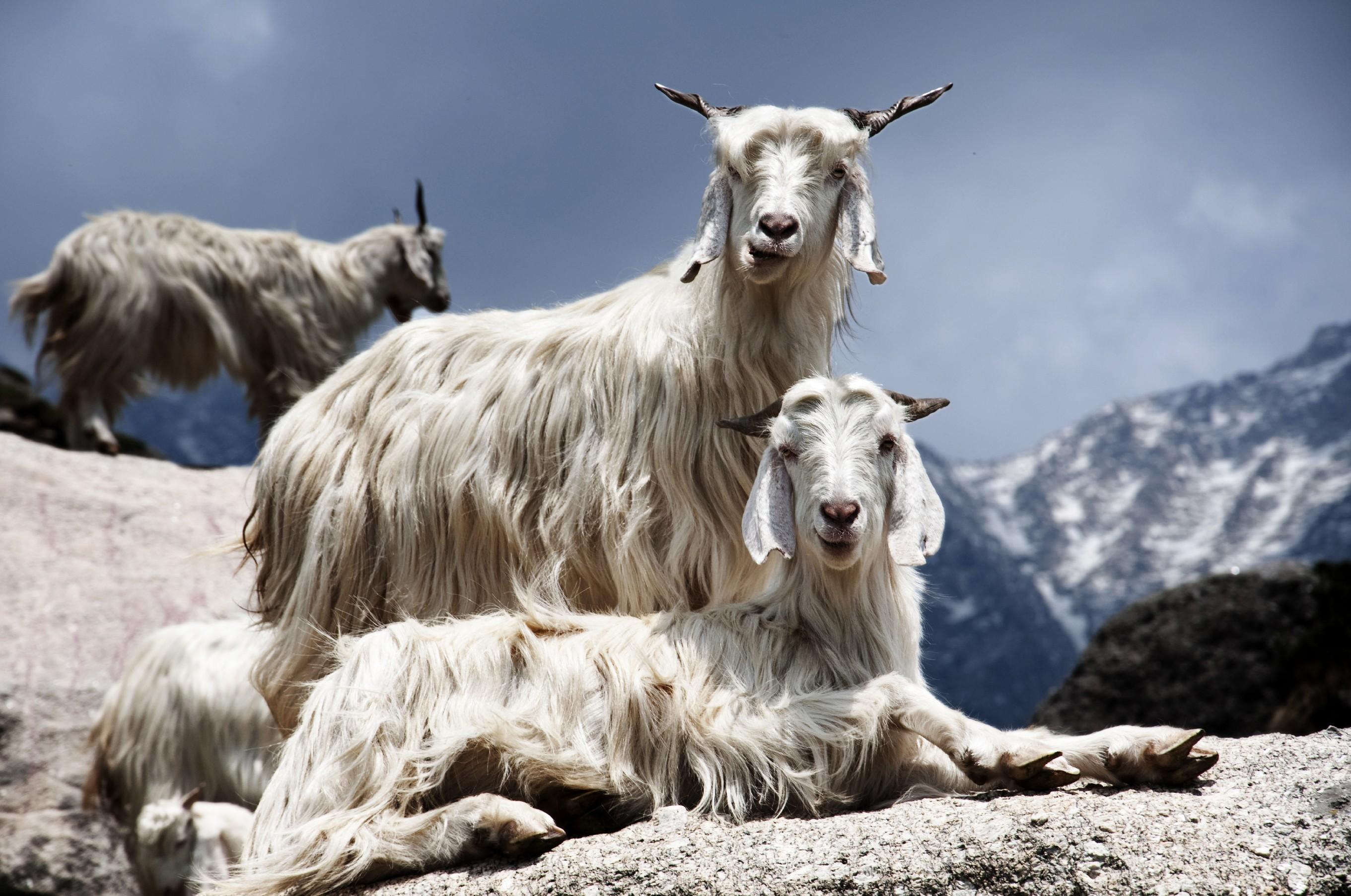 cashmere-himalyan-goat